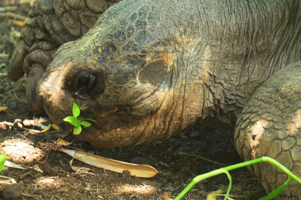 Tête d'une tortue des Galapagos du jardin botanique de Tahit