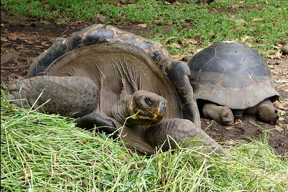 Tortues des Galapagos du jardin botanique de Tahiti. © Tahiti Heritage
