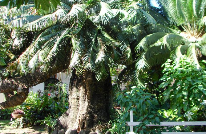 La vieille branche royale du cycas offerte à Pomare par le roi Louis Philippe, à Arue Tahiti