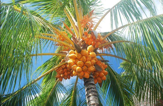 Cocotier avec noix de coco