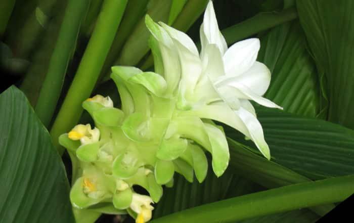 Fleur de Curcuma longa