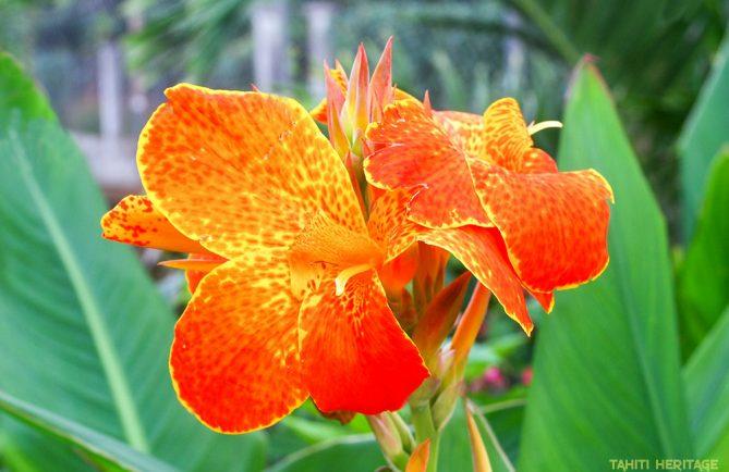 Balisier, Canna de Tahiti, jaune et orange © Tahiti Heritage