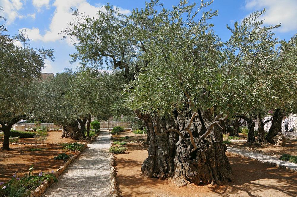 Jardin de Gethsemanii à Jerusalem