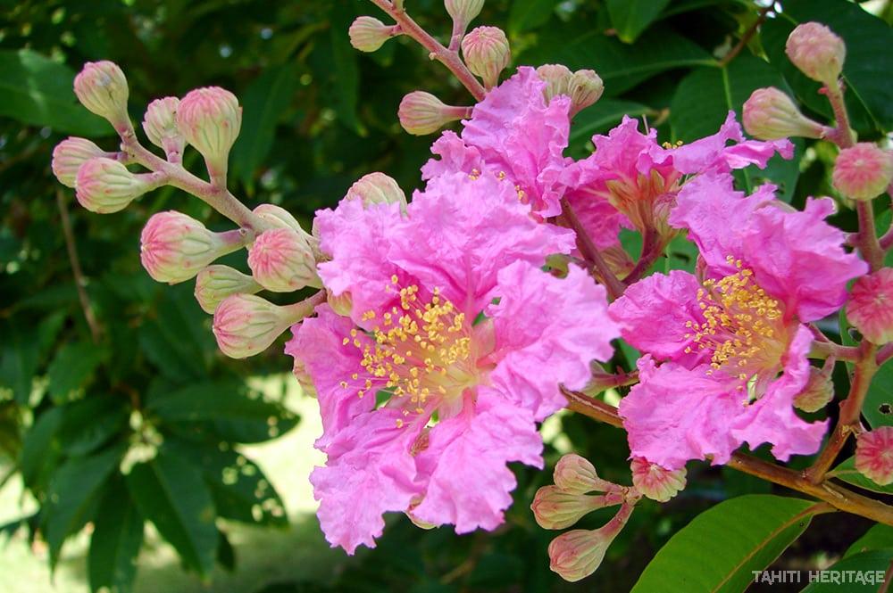Lilas des Indes, Lagestromia. © Tahiti Heritage