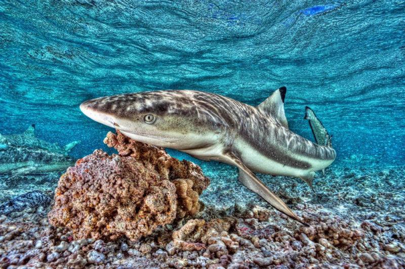 requin-sylvain-girardot Photo Sylvain Girardot /plongee-photo-polynesie.com