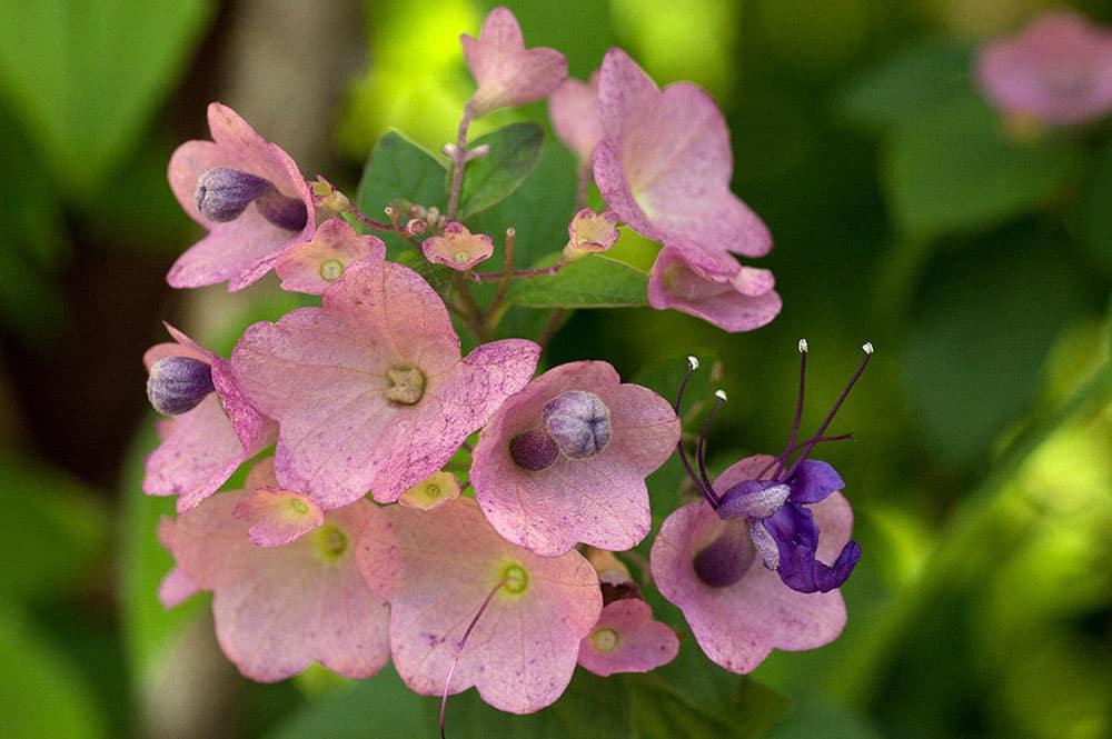 Chapeau chinois violet - Karomia speciosa