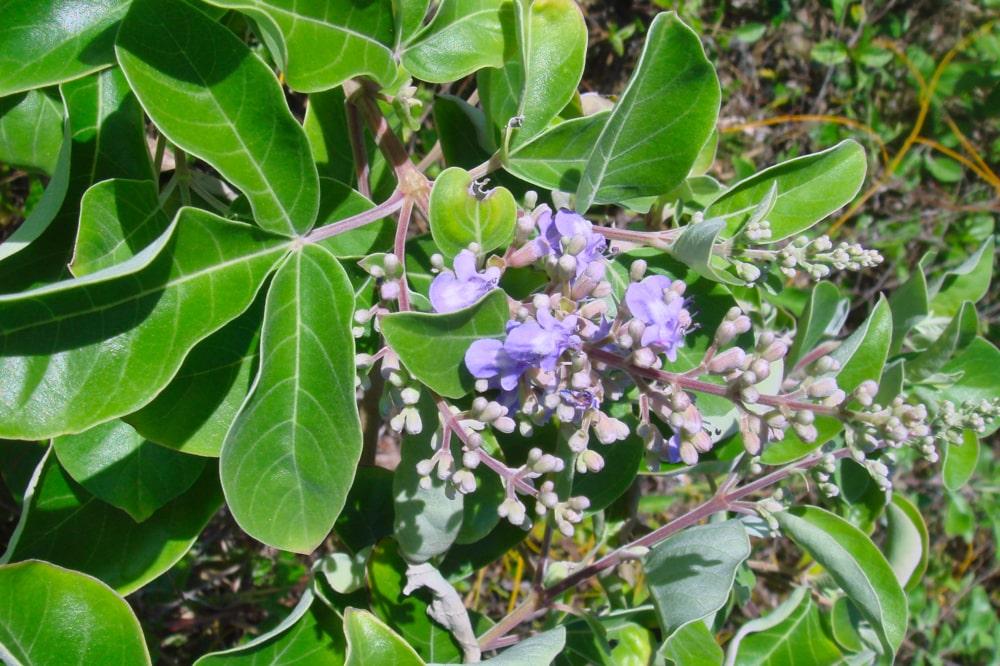 Fleurs odorantes de la grotte Opereue à Anaa