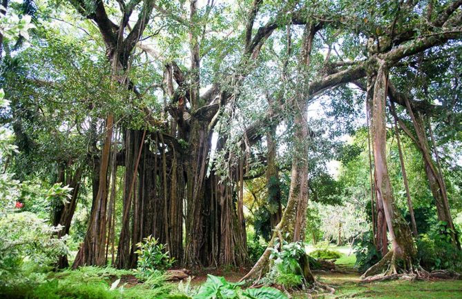 Banian du jardin botanique de Tahiti en 2011