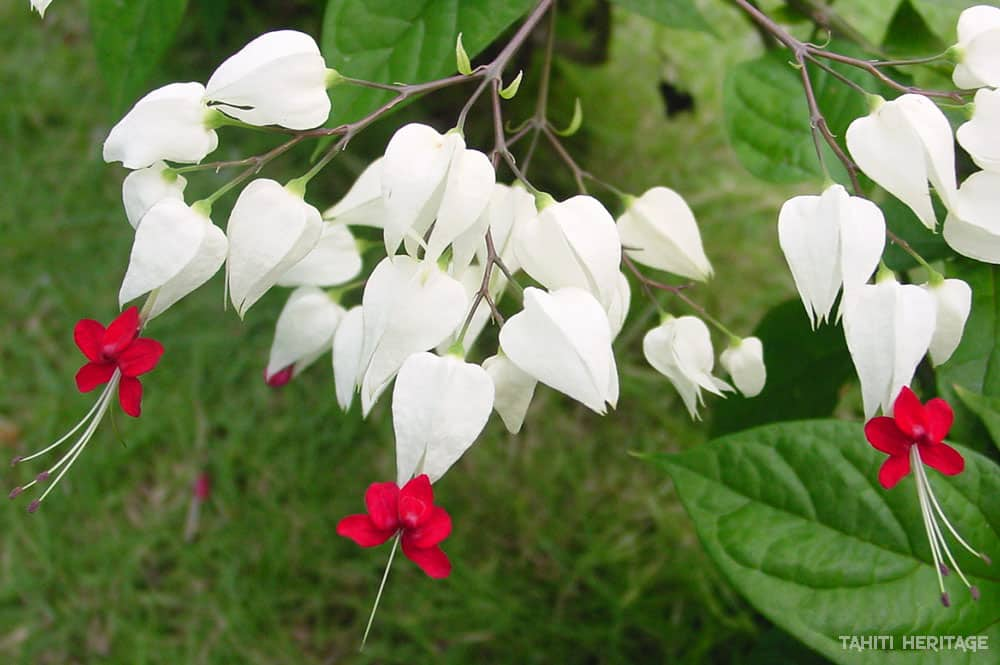 Clerodendron grimpant - clerodendrum thomsoniae