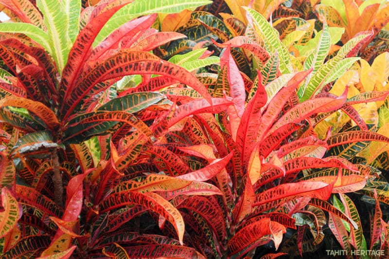 Croton de Tahiti, Codiaeum © Tahiti Heritage