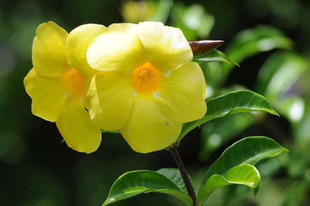 Monette jaune, Allamanda cathartica