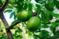 Pomme cythère, Vi tahiti, Spondias dulcis © Tahiti Heritage