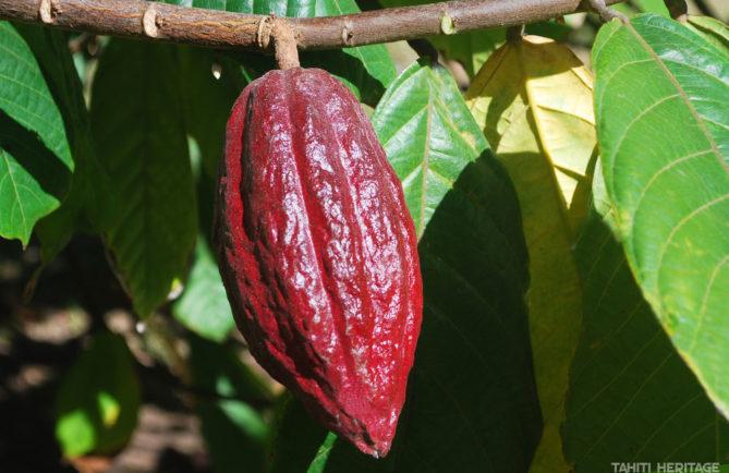 Cacaoyer de Tahiti, l'arbre à chocolat © TAHITI HERITAGE