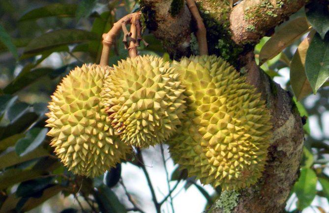 Durian de Tahiti, Durio zibethinus