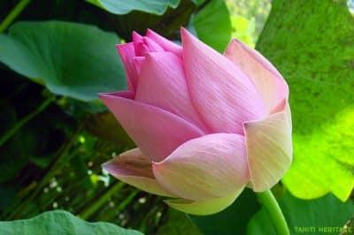 Lotus rose de Tahiti, Nelumbo nucifera. © Tahiti Heritage / Olivier Babin