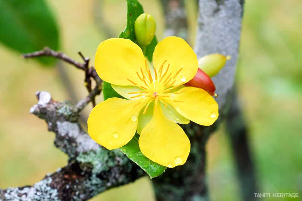 Fleur jaune d'Ochne, Mickey mouse plant
