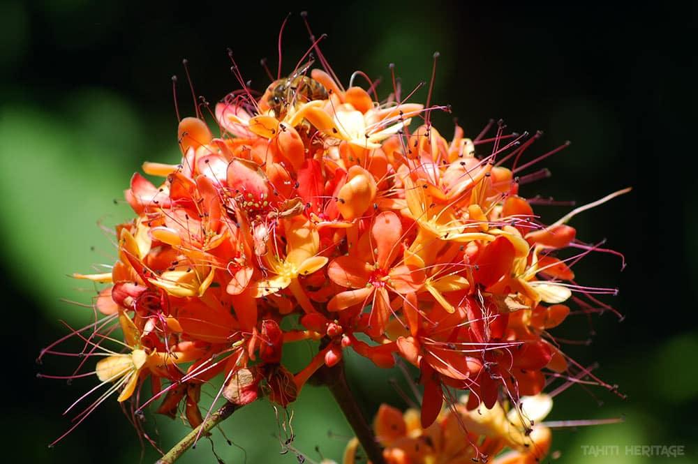 Brownea grandiceps orangé. © Tahiti Heritage / Olivier Babin