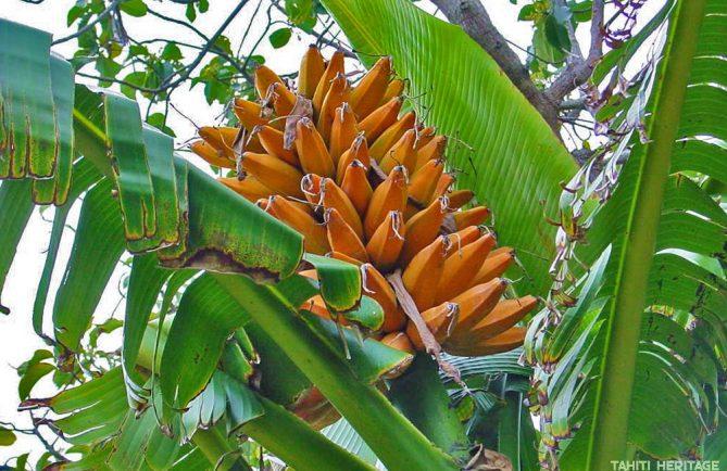Fei de Tahiti - Banane plantain de montagne, Musa troglodytarum © Tahiti Heritage