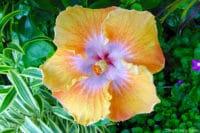 Hibiscus rosa sinensis, jaune et rose de Tahiti. © Tahiti Heritage