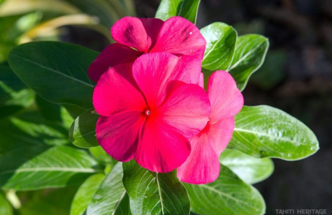 Pervenche rose de Tahiti. Cataranthus roseus © Tahiti Heritage