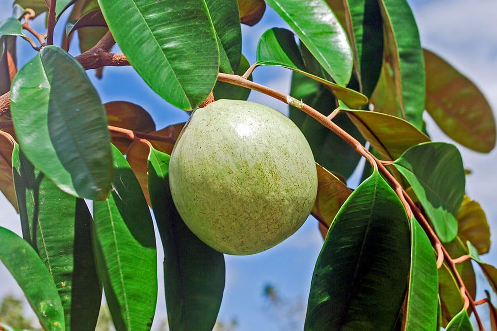 Pomme étoile de Tahiti, Chrysophyllum cainito © Tahiti Heritage