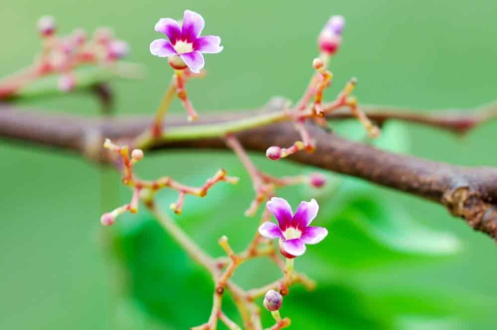 Fleurs de Ramboutan de Tahiti - Nephelium lappaceum