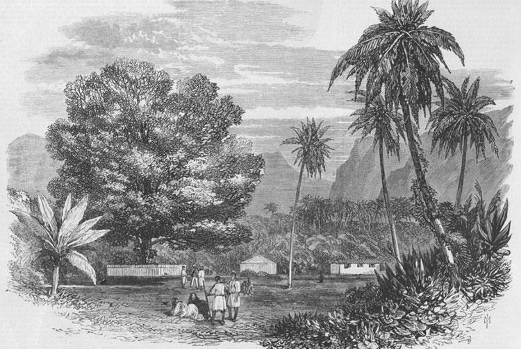 Le tamarinier planté par Cook, pointe vénus, Mahina. Gravure 1868