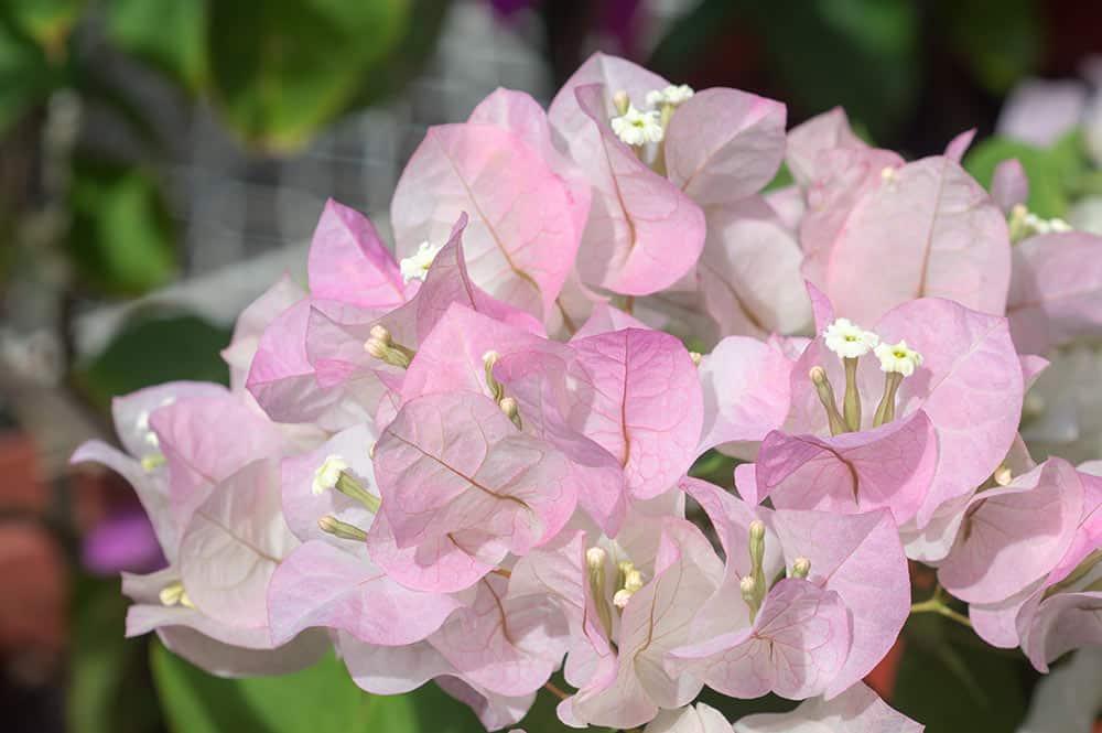 Bougainvilier rose pâle