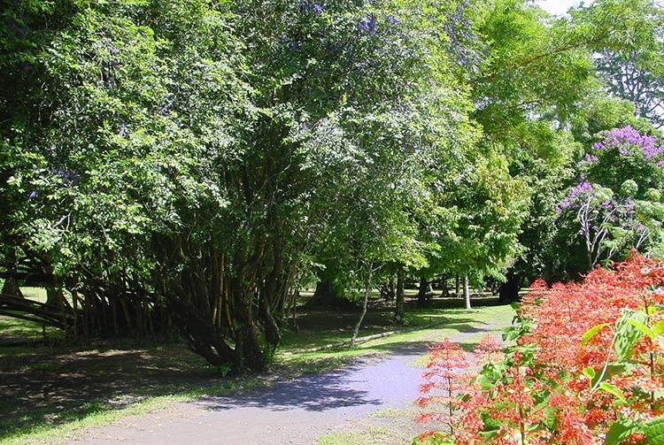 Derek Air, Memecylon, au jardin botanique de Tahiti