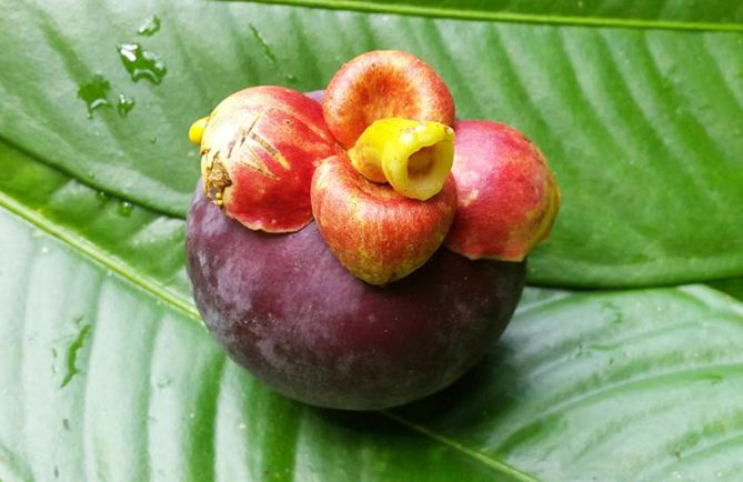 Mangoustan de Tahiti, Garcinia mangostana. Photo Chantal Tahiti