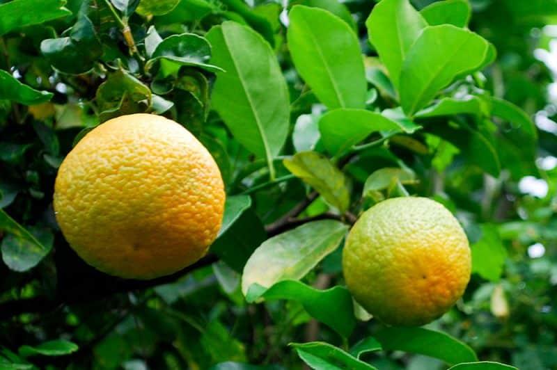 Orange de Tahiti © Tahiti Heritage
