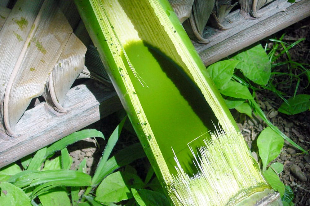 Teinture verte réalisée avec des feuilles de Papayer de Tahiti