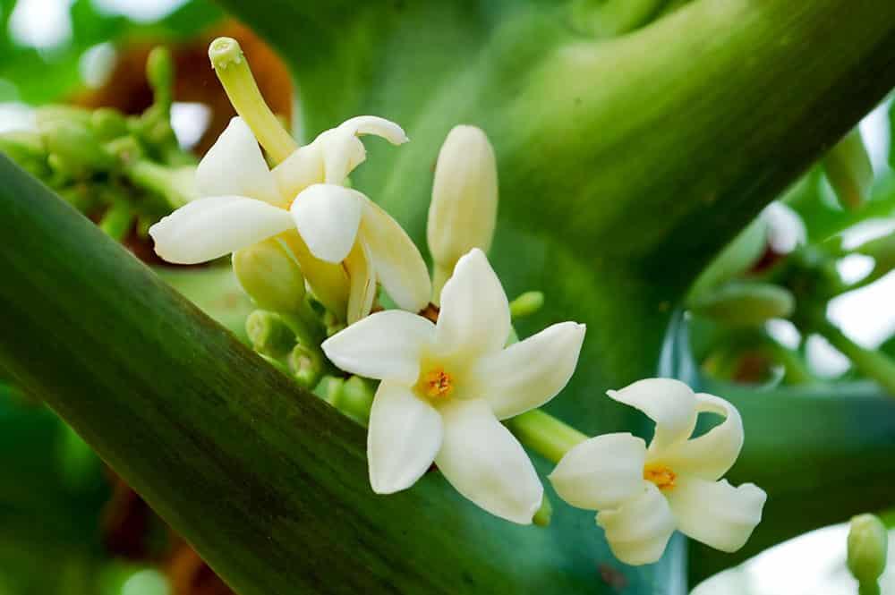 Fleurs de Papayer de Tahiti - Papaya carica