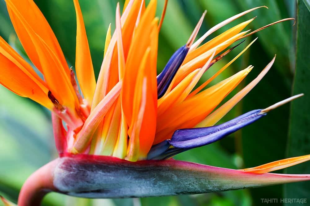 Strelitzia reginae. Oiseau de paradis de Tahiti. © Tahiti Heritage