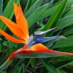 Strelitzia reginae, la beauté de l'oiseau de paradis