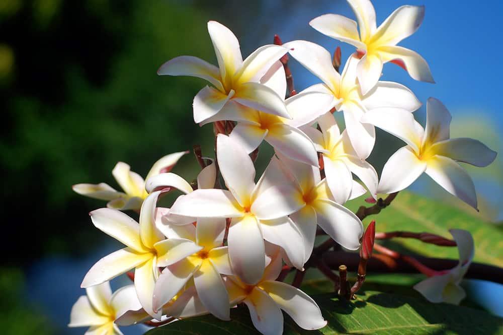 Frangipanier blanc, Tipanie de Tahiti. © Tahiti Heritage