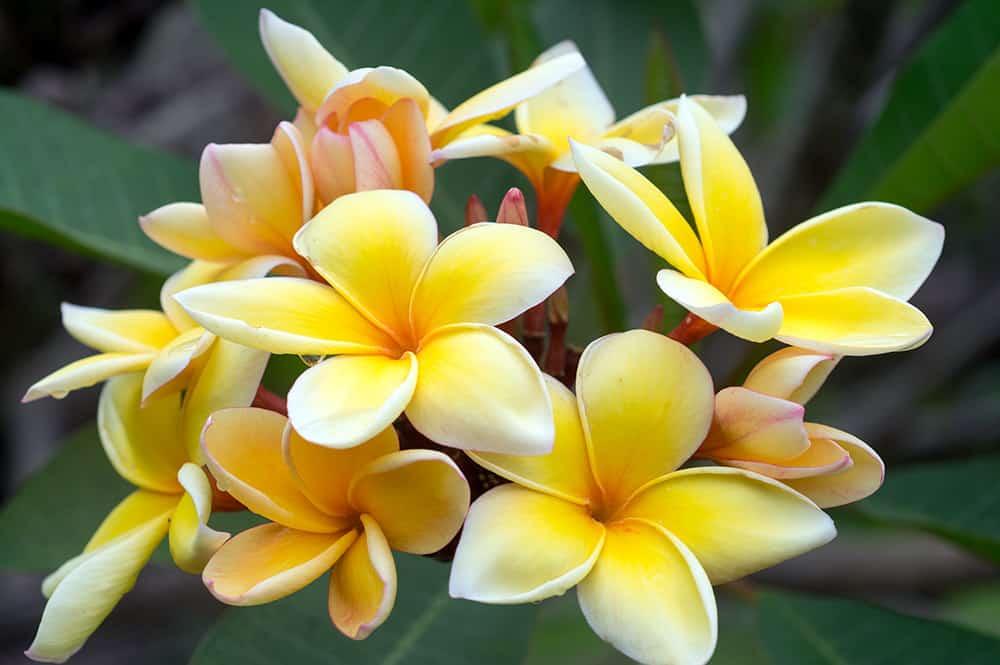 Fleurs de Frangipanier rose layette, Tipanie de Tahiti. © Tahiti Heritage