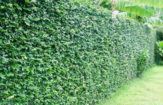 Mur recouvert de Ficus pimula, le lierre de Tahiti