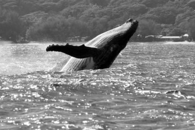 Baleine à Rurutu. Photo Pierre Lesage