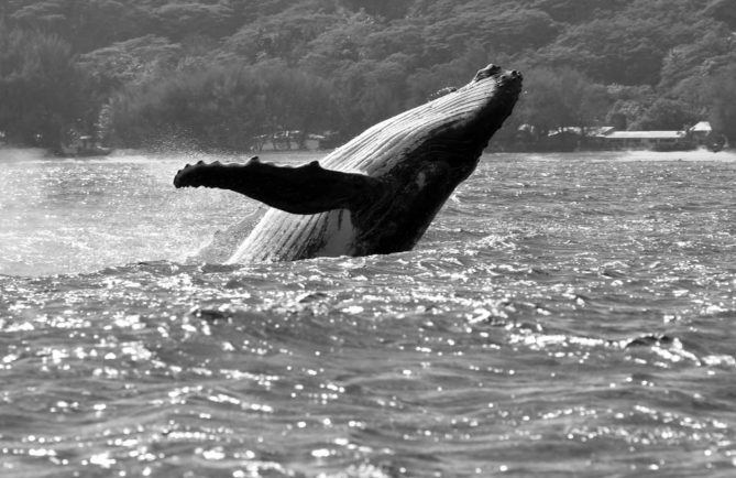 Baleine à Rurutu. Photo Pierre Lesage