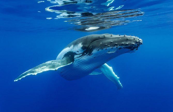 Baleine à bosse. Plongée Photo Polynésie/Sylvain Girardot