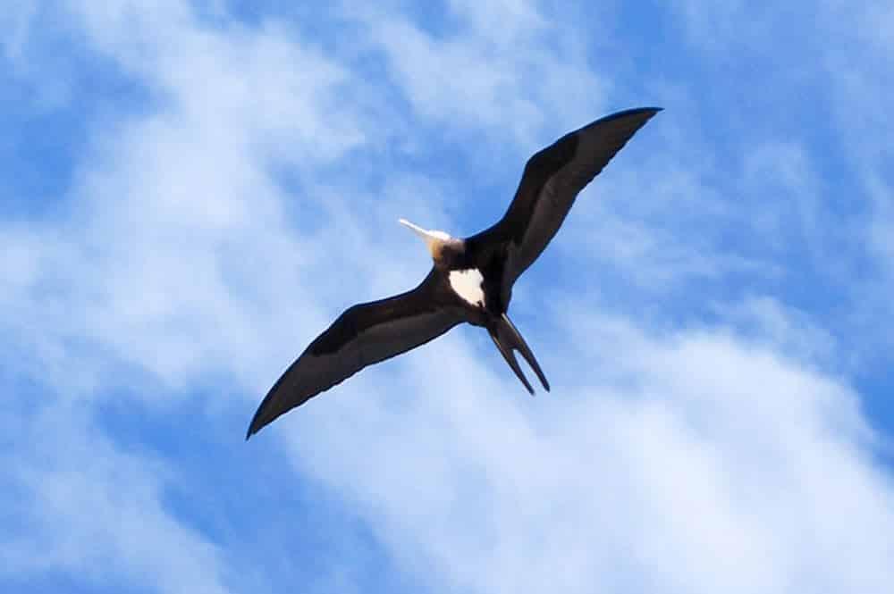 Oiseau Kaveka
