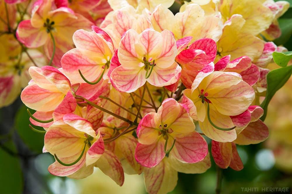 Cassia beige rosé, cassia javanica © Tahiti Heritage