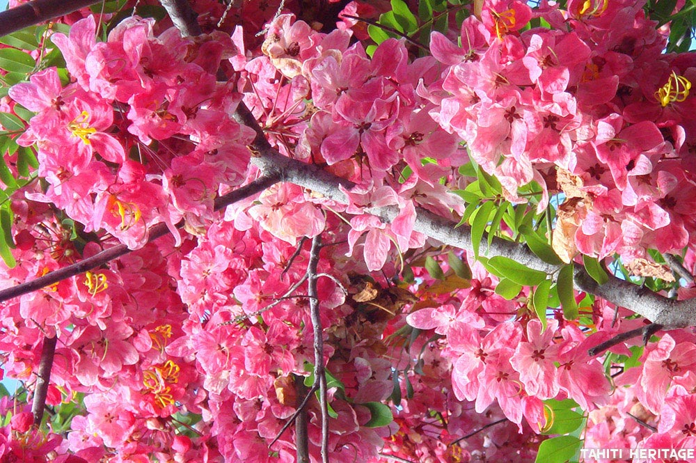 Cassia rose de Java, Cassia javanica © Tahiti Heritage