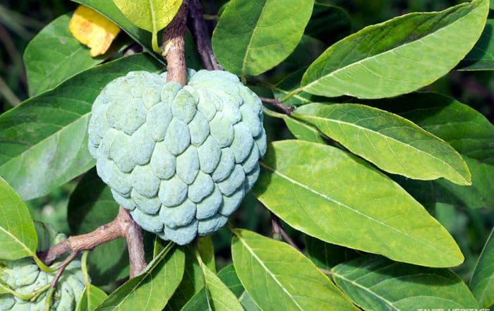 Pomme cannelle de Tahiti, Annona squamosa, Tapotapo. © Tahiti Heritage