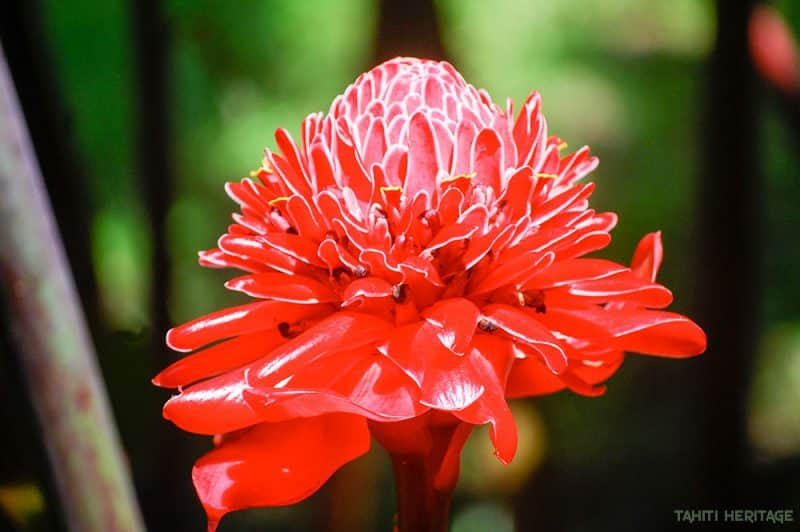 Rose de porcelaine - Etlingera elatior © Tahiti Heritage