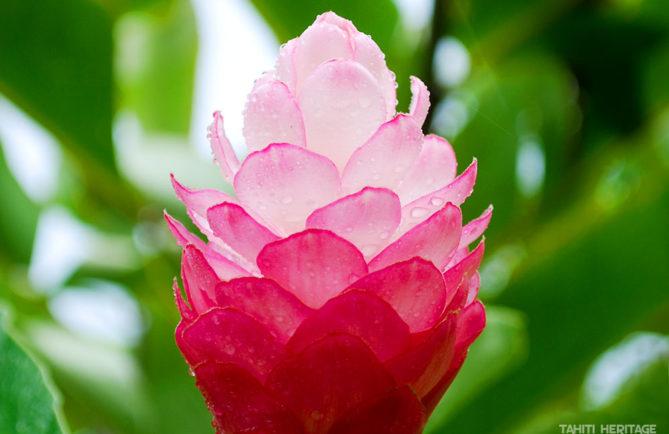Alpinia purpurata, Opuhi rose de Tahiti © Tahiti Heritage