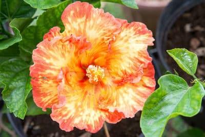 Hibiscus rosa sinensis, orange de Tahiti. © Tahiti Heritage