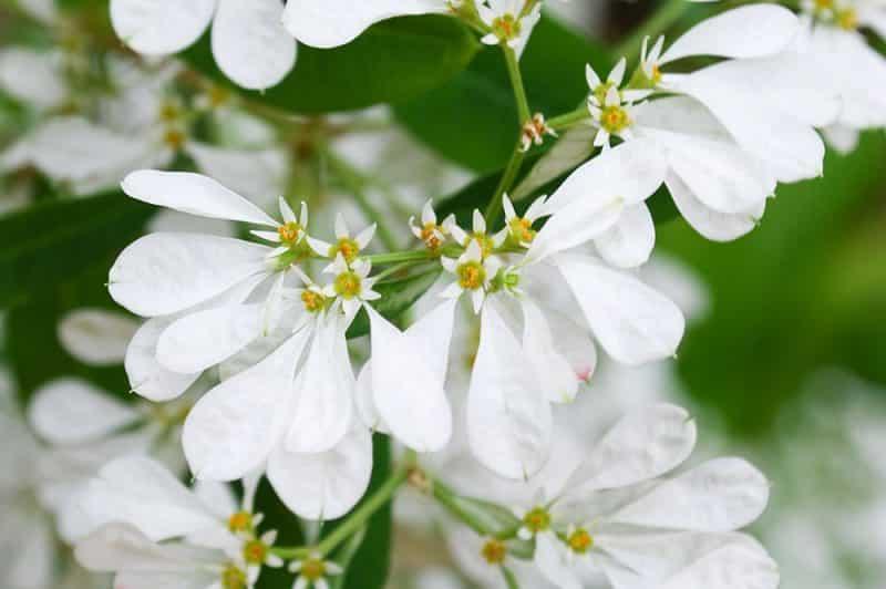 Euphorbia leucocephala, le Petit poinsettia blanc de Tahiti. © Tahiti Heritage