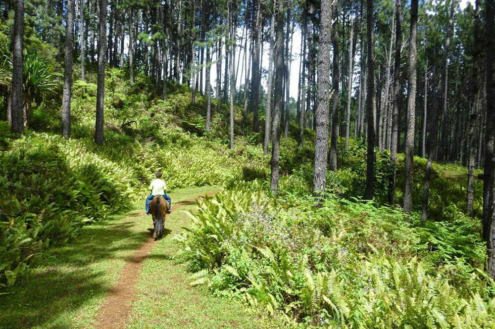 Foret de pinus de Toovi, à Nuku Hiva. Photo sandrineetclementauxmarquises